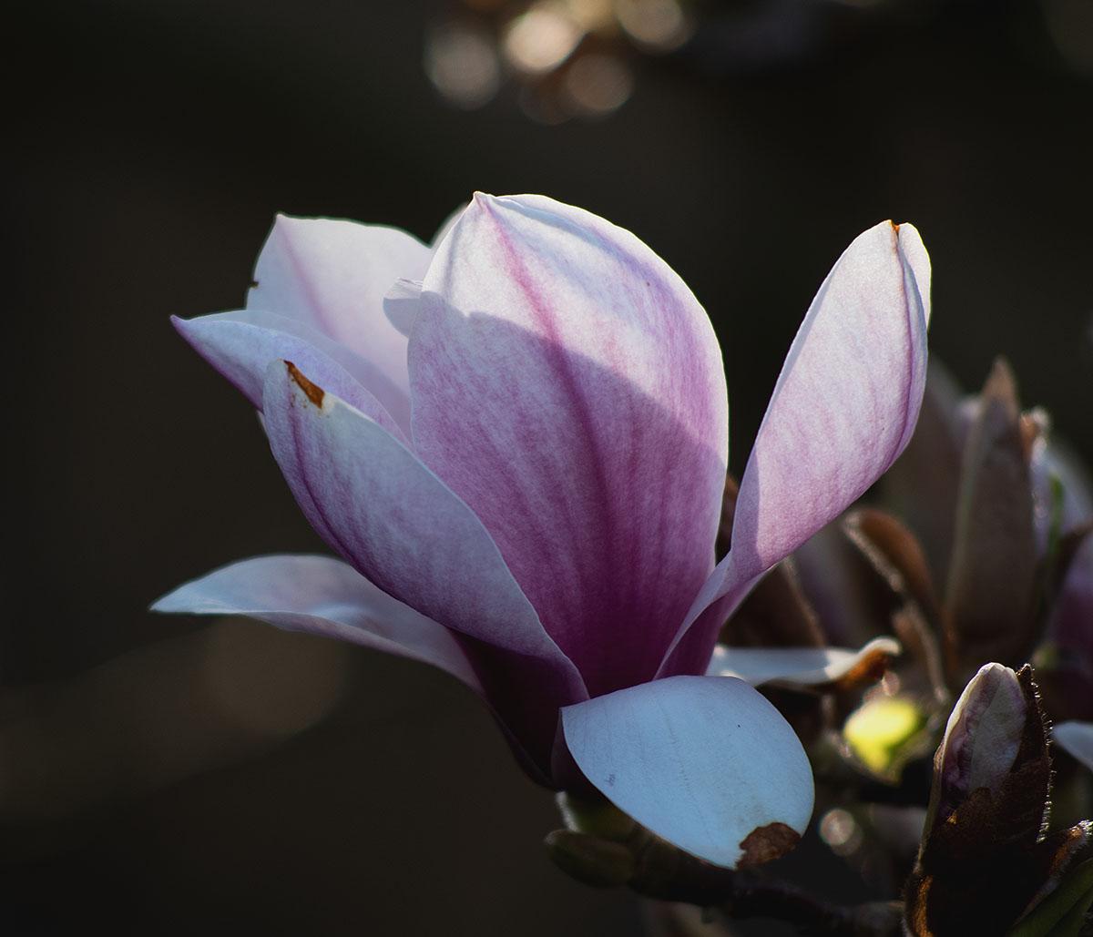magnolie 1.jpg