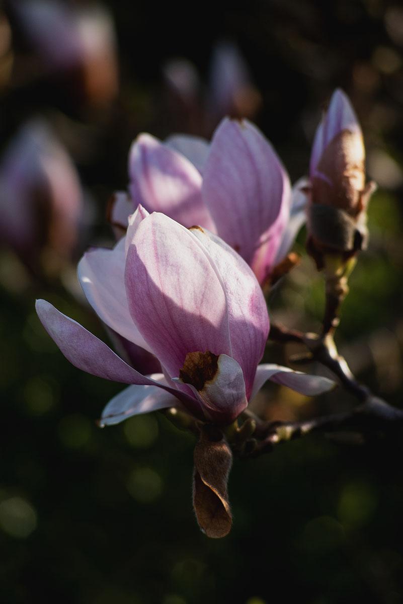 magnolie 3.jpg