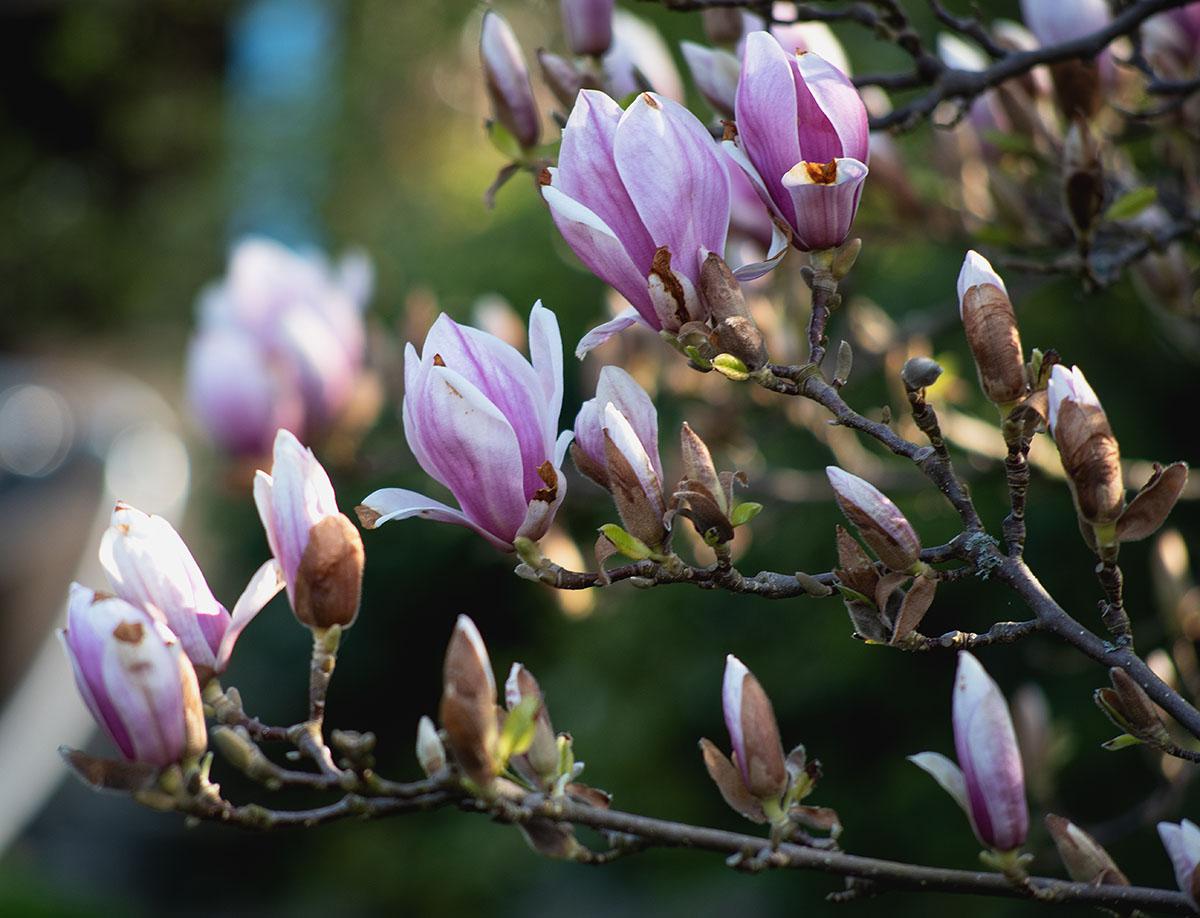 magnolie 4.jpg
